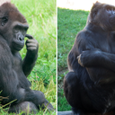010517_gorillas_zoo