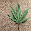 01072015_marijuana_leaf_Reuters