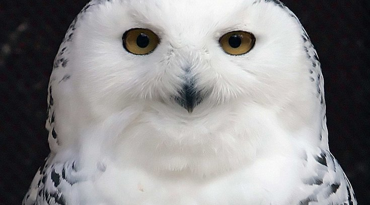 01082015_snowy_owl_Reuters