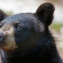01222015_bear_maine_AP