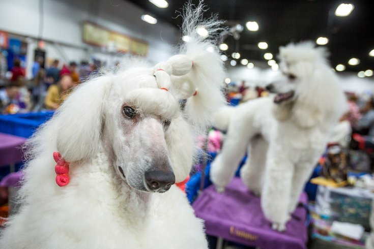Carroll - 2017 National Dog Show in Oaks, PA