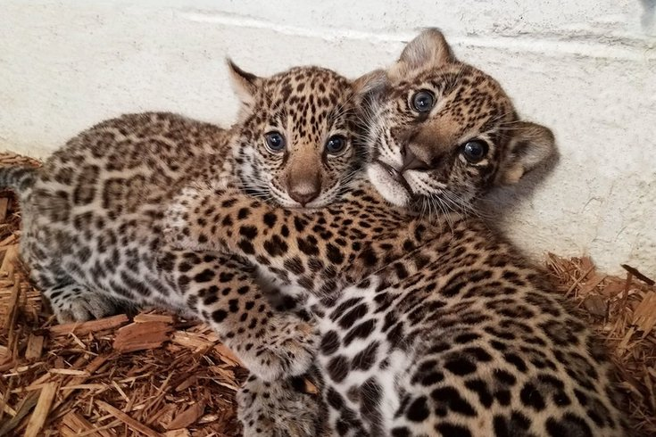 Jaguares Pinterest: Elmwood Park Zoo Announces Jaguar Cubs' Names