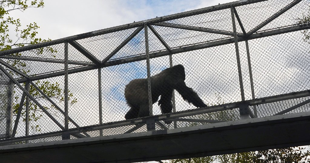 Clean freak gorilla walks on two legs Cant stand dirty hands