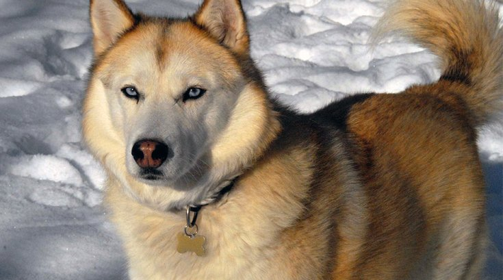 05292018_Siberian_Husky_sable_wiki