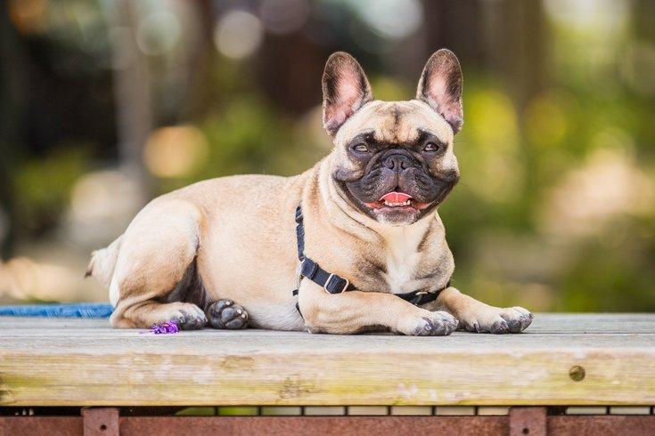 Carroll - Pug Dog at Navy Yard