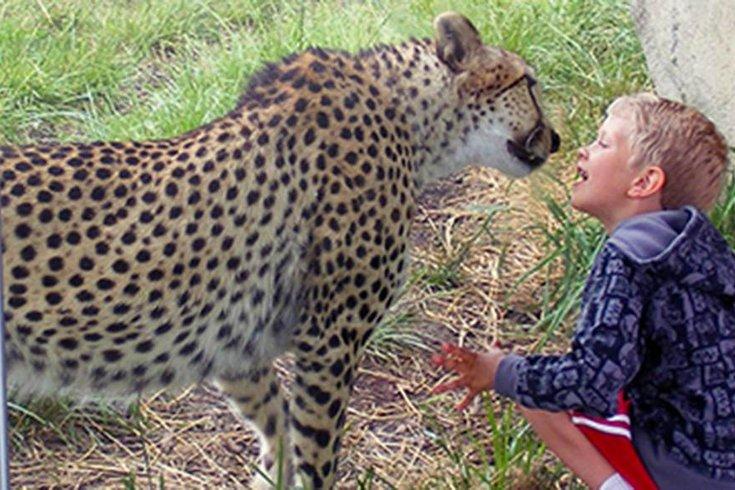 09062015_indyzoo_cheetahs