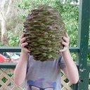 10142015_bunya_pine_cone_wiki