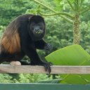 10232015_howler_monkey_costa_rica