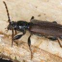 10232015_longhorned_beetle_iStock