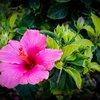 11172017_hibiscus_flower_