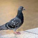 11182015_pigeon_iStock