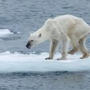 Viral Polar Bear Photo