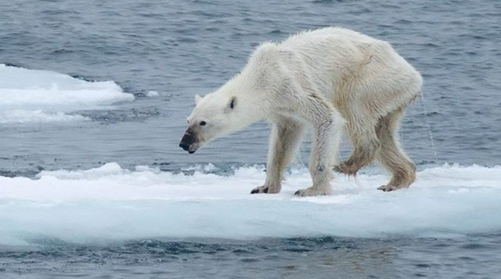 Viral Polar Bear Photo