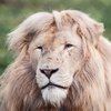 Prince the lion