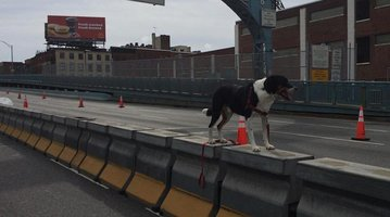 Dog Ben Franklin Bridge