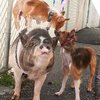 Pig & Pups BFFs