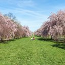 Cherry Blossoms Fairmount Par
