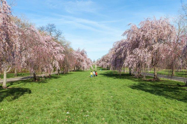 Cherry Blossoms Fairmount Par