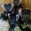 Lemurs Philly