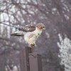 Hawk with arrow
