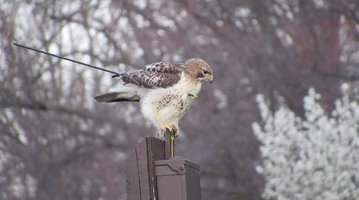 Hawk with arrow