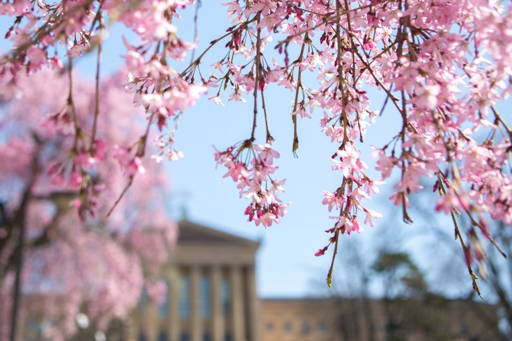 Stock_Carroll - Cherry blossoms near the Philadelphia Museum of Art