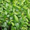 Carroll - Poison Ivy