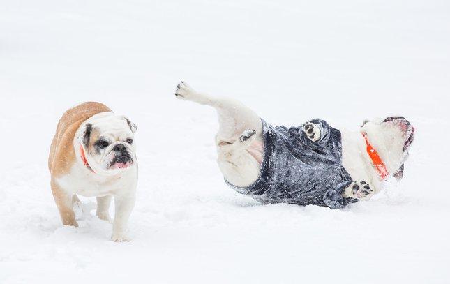Carroll - Snow Dogs