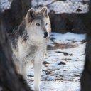 Elmwood Park Zoo gray wolf dies