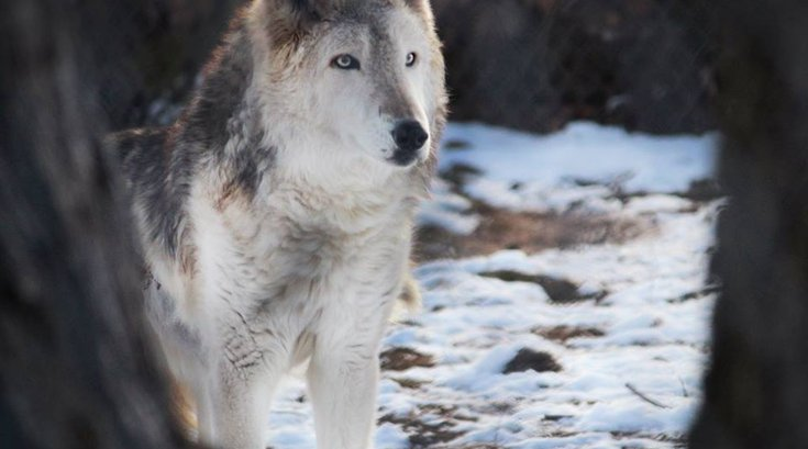 Elmwood Park Zoo gray wolf dies