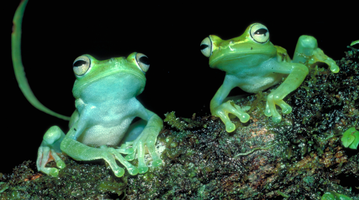ANS Frogs