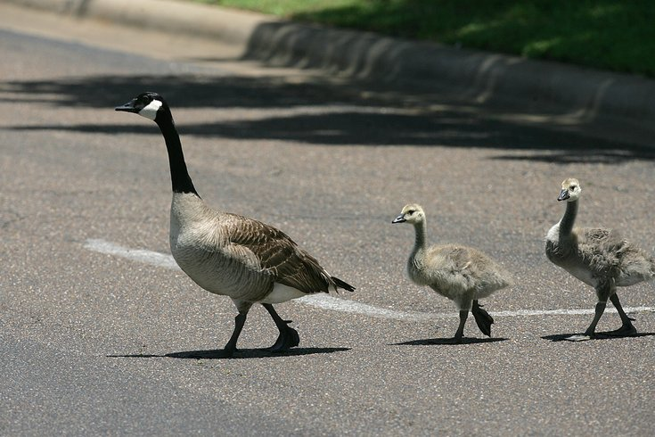Spca N J Teens Intentionally Run Over Geese Post Video