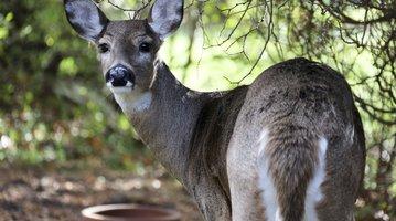 Pennsylvania Deer