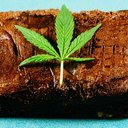 Pot Brownie