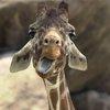Giraffe at the Philadelphia Zoo