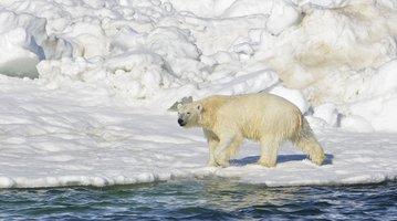 polar bears Russian weather station