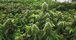 Lito Shepard Medical Marijuana