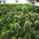 marijuana casket