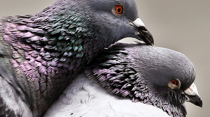 Pigeons_Germany