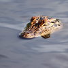 070815_alligatornj
