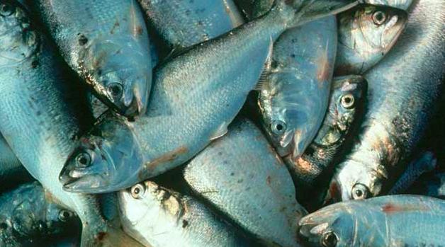 082416_bunkerfish