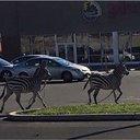 West Philly zebras