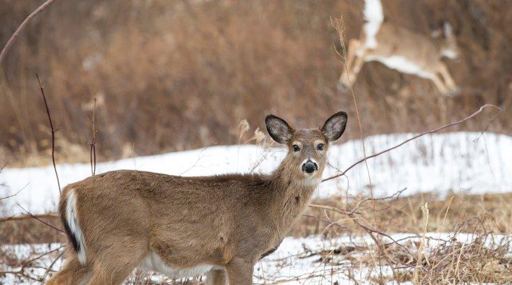 Stock_Carroll - Deer