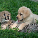 090816_CheetahPup