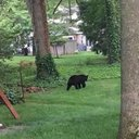 Doylestown Bear
