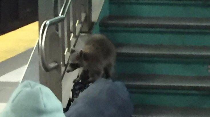 PATCO Raccoon