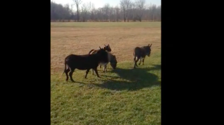 Mount Laurel Donkeys