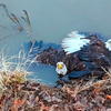 Bald Eagles Pennsylvania