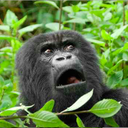 071515_Gorilla