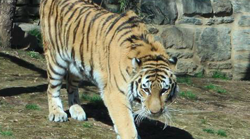 031716_TigerPhiladelphiaZoo